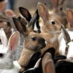 В Ростовской области кроликов будут разводить на мясо