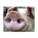В Воронежской области суд обязал фермеров уничтожить поголовье свиней из-за АЧС