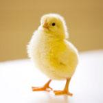 «Крымская торгово-промышленная компания» намерена реконструировать птицефабрику «Южная»