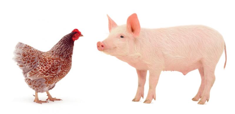 Птицеводов ожидает рост конкуренции со стороны свиноводов в 2017 г. – Росптицесоюз