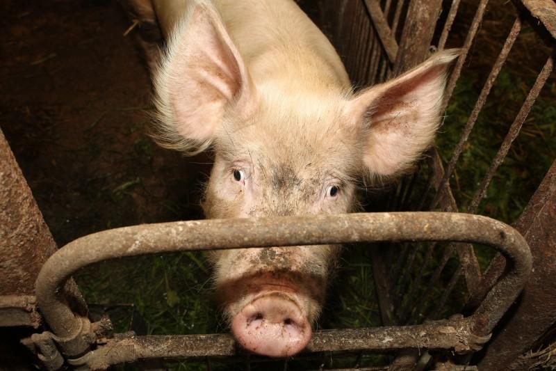 Россельхознадзор проверит версию о связи АЧС в Иркутской области с воронежским мясом