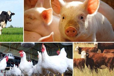 В январе-марте 2017 года производство скота и птицы на убой (в живом весе) увеличилось на 3,1%