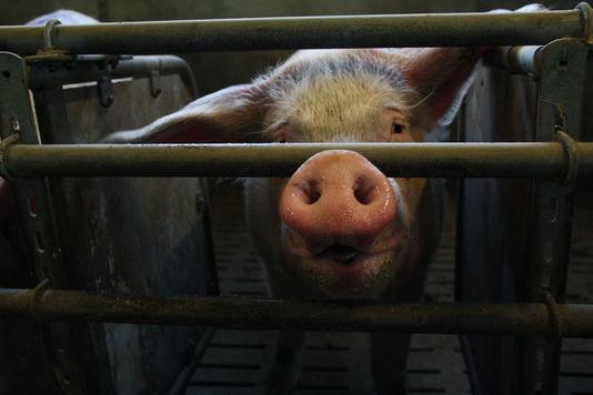Воронежские свиньи подошли к суду