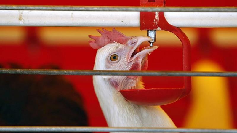 «Белая птица» в Ростовской области займётся мясом