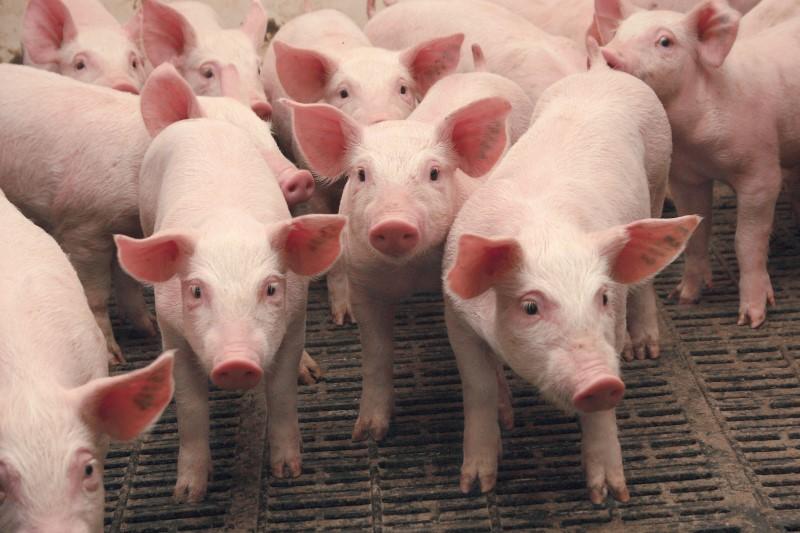 Поголовье свиней на Кубани сократилосьна 14%