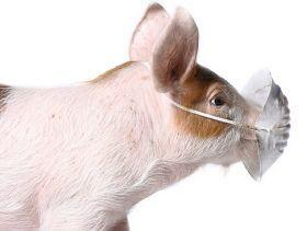 В Ростовской области нашли новые очаги африканской чумы свиней