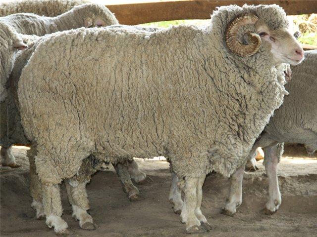 В Дагестане вывели скороспелую горную породу овец