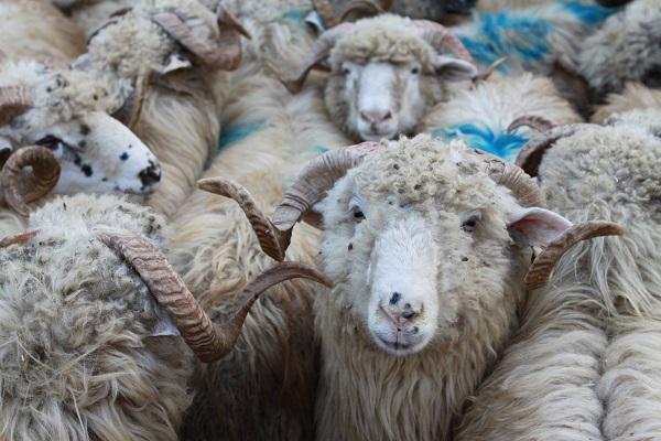 Ставропольские овцеводы получат почти 300 миллионов господдержки