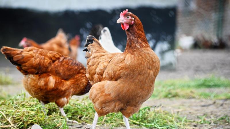 Птичий грипп погубил 342 тысячи кур под Воронежем