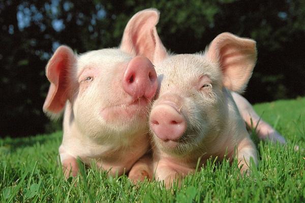 Рост прибыли в 2018 г. в свиноводстве станет рекордным