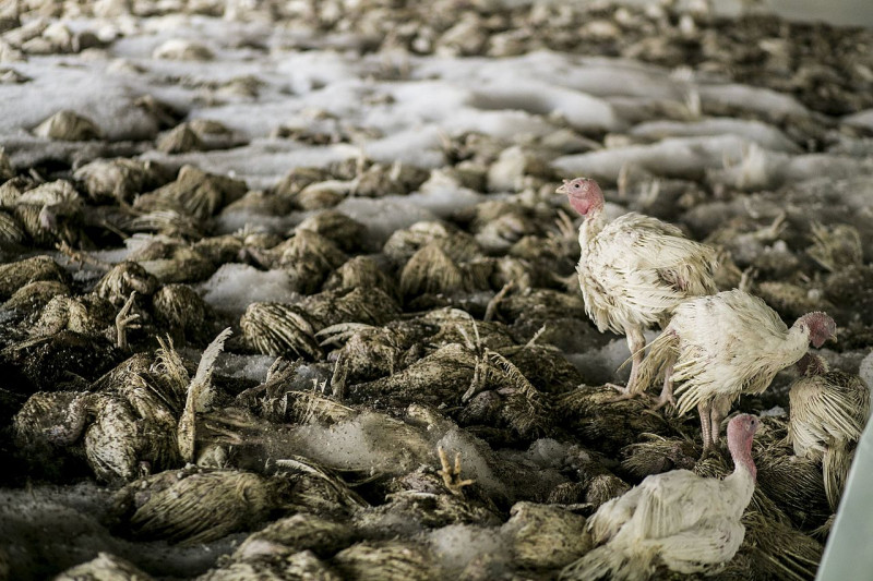 За птичий грипп заплатят страховщики