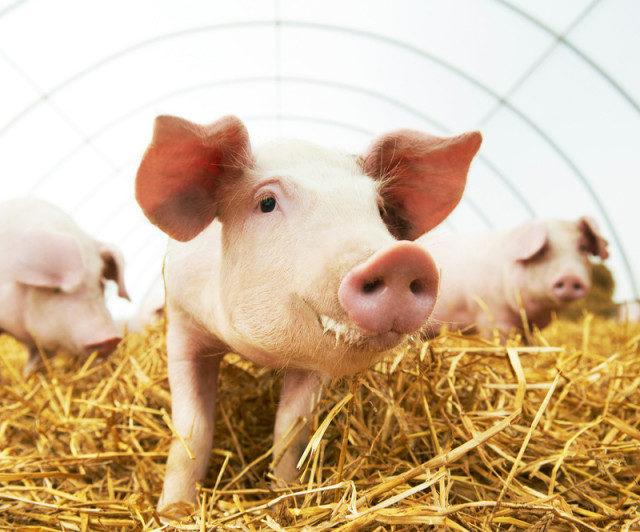 При поддержке Россельхозбанка в Воронежской области создается вертикально-интегрированный агрохолдинг по переработке свинины