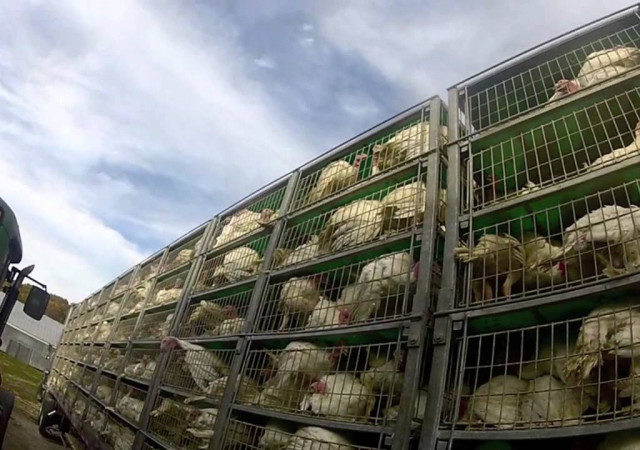 На Брянщину из Ростовской области ввезли 1000 кур без необходимых документов