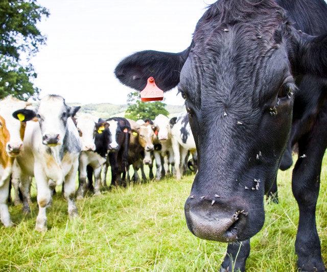 Поголовье скота в Крыму снова уменьшилось