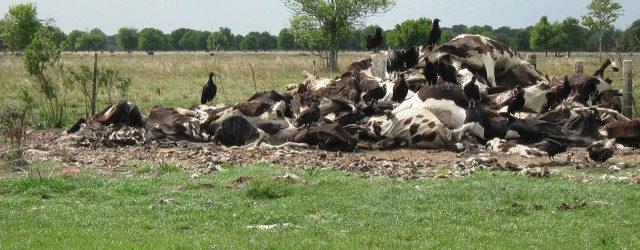 В Дагестане произошел массовый падеж крупного рогатого скота