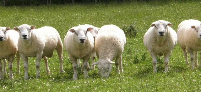 Дагестан республика: В Кизлярском районе поголовье овец выросло до 144 тысяч голов