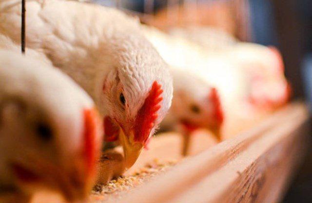 Ростовская область: от птичьего гриппа привили 230 тыс. птиц