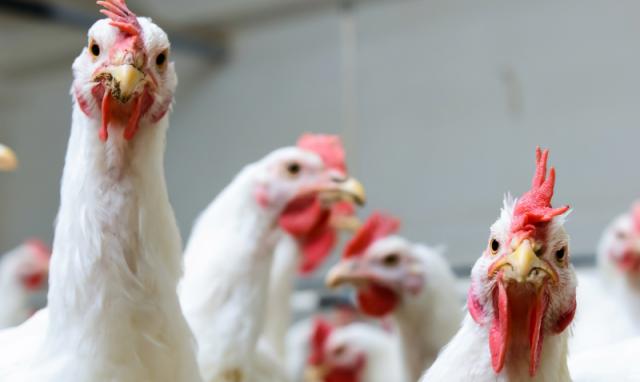 Ставропольский край: Зимой 2020 года производство птицы выросло на 8,8%