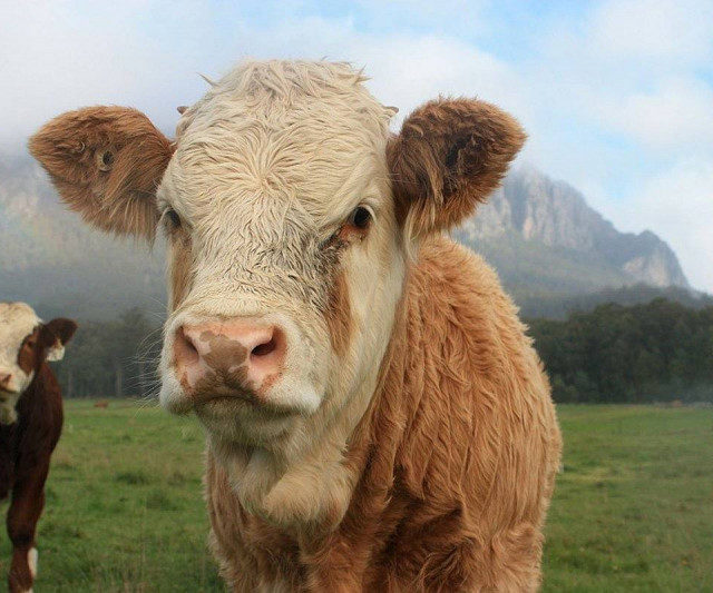 В Северной Осетии планируют увеличить темпы развития животноводства