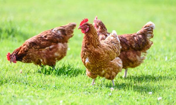 Вспышка гриппа птиц зарегистрирована в третьем районе Ростовской области