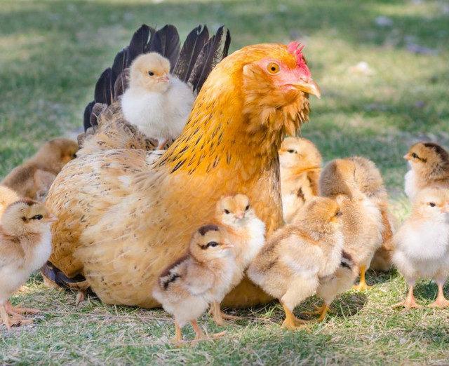 Отечественный кросс мясных кур запатентуют в России