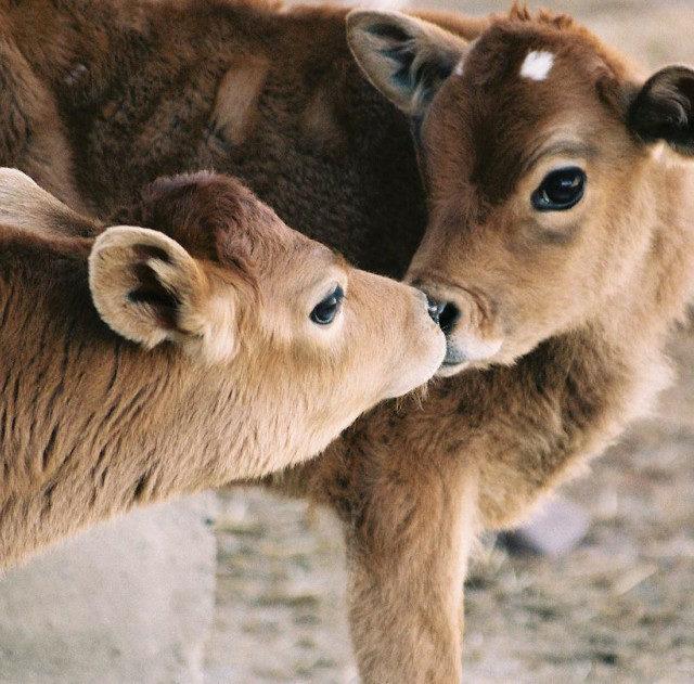 Аграрии Ставрополья приступили к продаже молодняка джерсейской породы коров