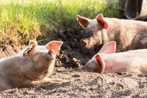 В Кабардино-Балкарии выставлен на торги Аургазинский свинокомплекс
